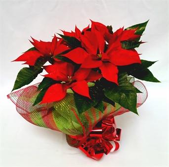 Resultado de imagen para rosas rojas y nochebuenas